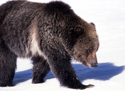 grizzly_near_obsidiancreek