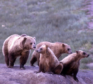 yellowstone_grizzlymomcubs