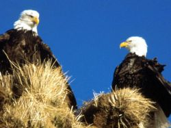 bald_eagles